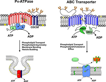 phospolipid transport