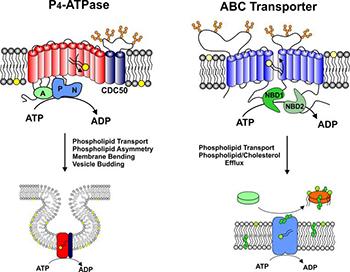 phospolipid transport